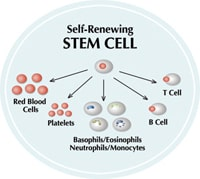 stem cells differentiate into other cell types