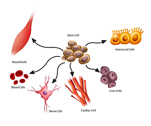 Understanding Stem Cells and their Importance