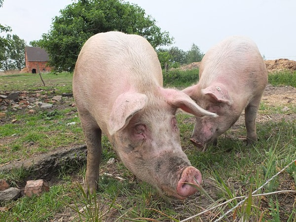 Pigs like these provide us with heparin